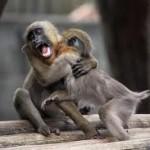 целитель чеснок бабуин негр ангина